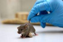 تیمی تأمین شده توسط انجمن ملی ام اس آمریکا، پتانسیل محافظت عصبی دارویی مشابه هورمون تیروئید را در موش ها نشان می دهد